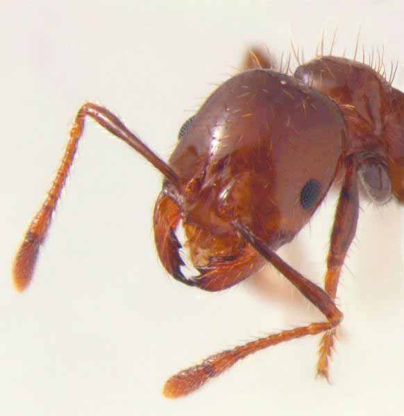 Fire Ant Head Close Up
