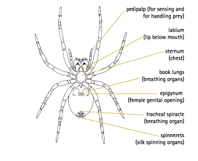 Female Spider Diagram