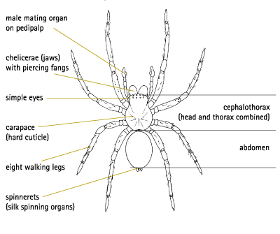 Male Spider Diagram