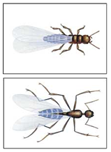 Winged Ant and Winged Termite Comparison